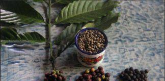 Biji kopi dari Pipikoro, Sulawesi Tengah